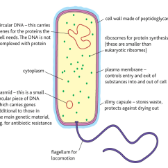 Bacteria Structure Diagram 5 Way Switch Wiring Guitar Year 12 Human Biology