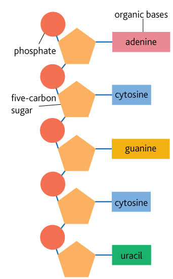 Structure of RNA   Year 12 Human Biology