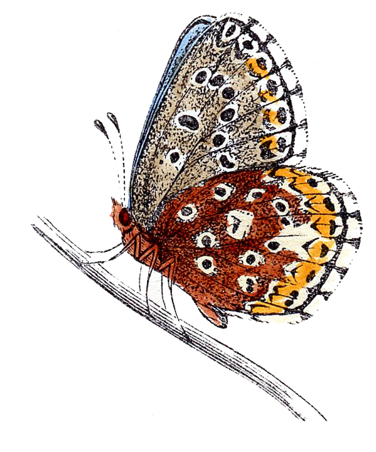 hight resolution of august clipart butterfly vintage clip art natural clip art freeuse download