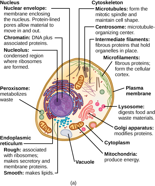 what is a cell diagram goodman aruf wiring chromatin drawing plant transparent png clipart free 519 x 620 13 0