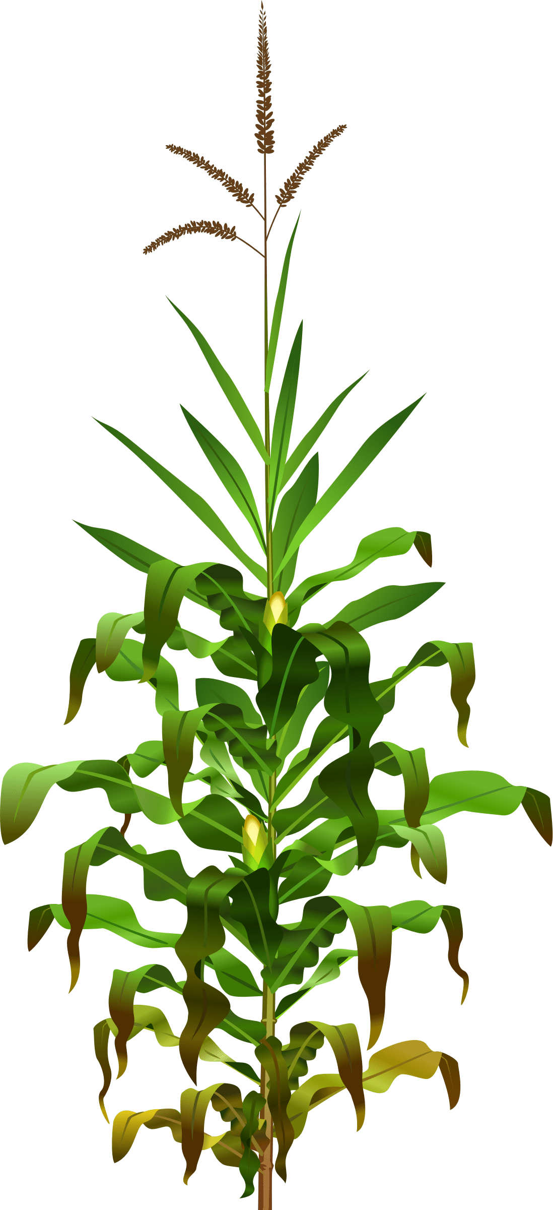 hight resolution of plant clipart bajra jowar png transparent images svg free stock
