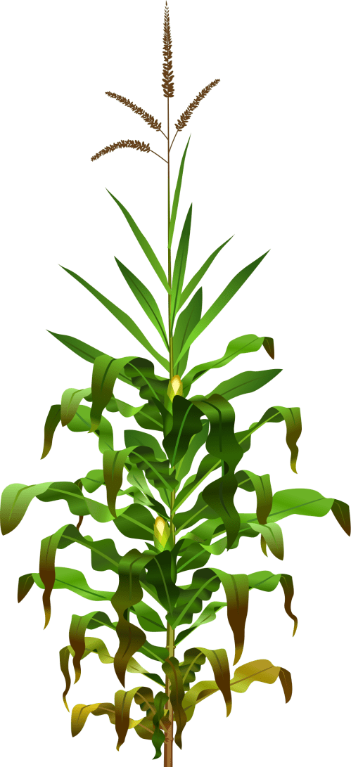 small resolution of plant clipart bajra jowar png transparent images svg free stock