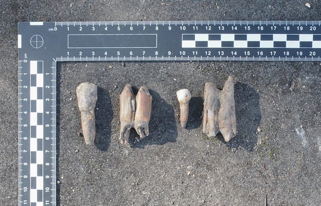 Assorted animal teeth