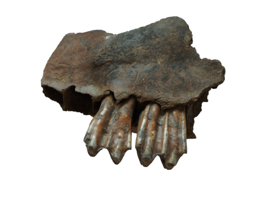 Fragment of bovine jaw with teeth