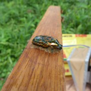 Beetle in Propolis