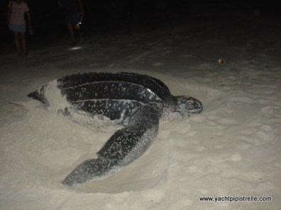 Leatherback Turtle in Testigos