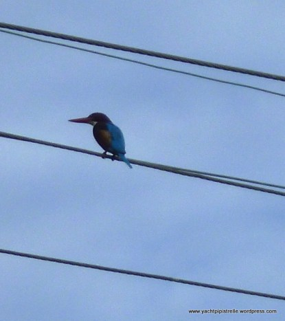 Bird on the wire - brightly coloured kingfisher