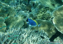 Powder Blue Surgeon Fish (Acanthurus leucosternon)