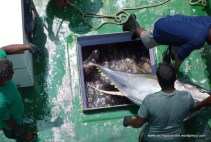 Extracting tuna from refrigerated hold