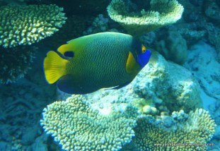 Blue faced Angelfish (Pomacanthus xanthometopon)
