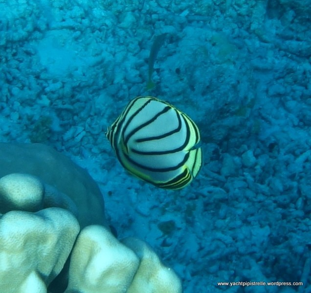Strikingly patterned Meyer's Butterflyfish
