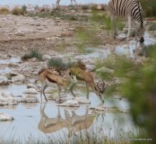 At the waterhole - springbok