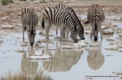 At the waterhole - zebra