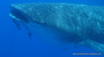 whaleshark head