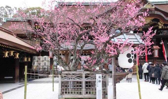 [1月30日-3月下旬]京都 北野天満宮 梅苑公開
