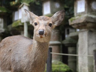 Early morning walk, Nara's feature 'Deer Gathering'