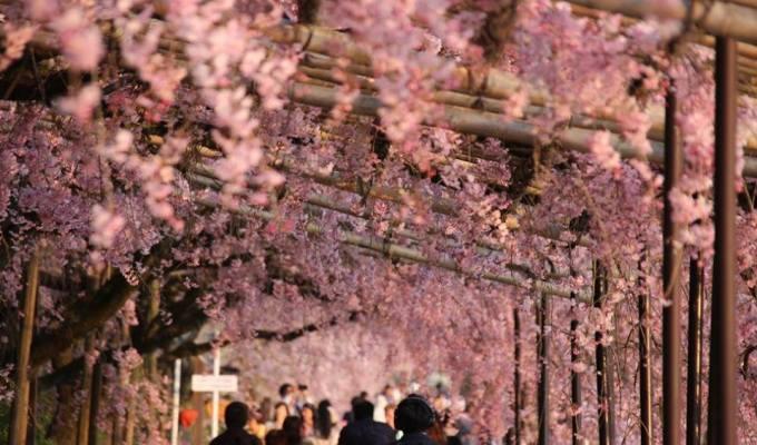 Cherry blossom forecast