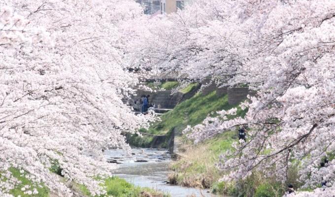 [3月下旬-4月上旬]奈良 佐保川 桜並木