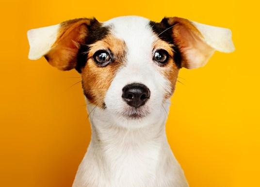 10 самых упрямых и непослушных пород собак