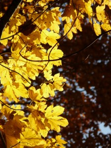 mountain-maple-10565_1280