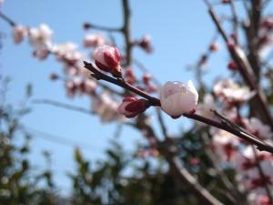 越生梅林の開花状況はいつが見どころでしょうか?例年の傾向を調べました。
