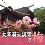 太宰府天満宮の梅見頃。2019年の開花状況と梅祭り最新情報