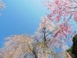 奈良吉野の桜見ごろはいつ?開花予想2016。おすすめ宿とツアー
