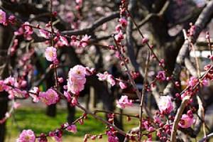 佐布里池の梅まつりはとても人気のあるスポットです。見頃を紹介します。