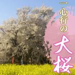 熊本一心行の大桜2018年開花予想。見頃はいつ?車の渋滞予測