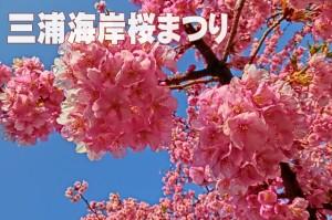 sakura_kawazu_010