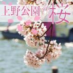 上野公園の桜2018開花予想。いつ満開?お花見はいつまでOK?