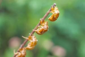 cicada_002