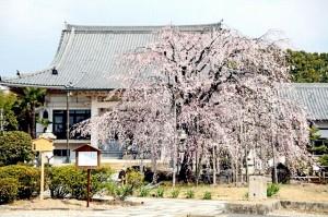箱根の桜の開花状況。見ごろの時期はいつ?花見の名所と予想
