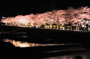 hakone_sakura_009