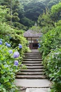 鎌倉明月院のあじさい見頃。最新の開花状況。混雑時期とアクセス法