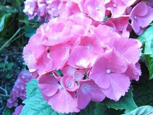 あじさいの名所で東京なら?関東や関西の紫陽花スポットまとめ
