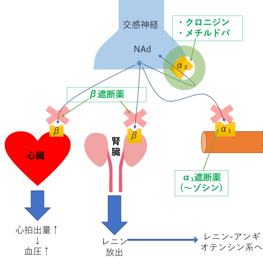 高血圧 薬 交感神経 アンギオテンシン ベータ受容体遮断薬 ACE 作用機序