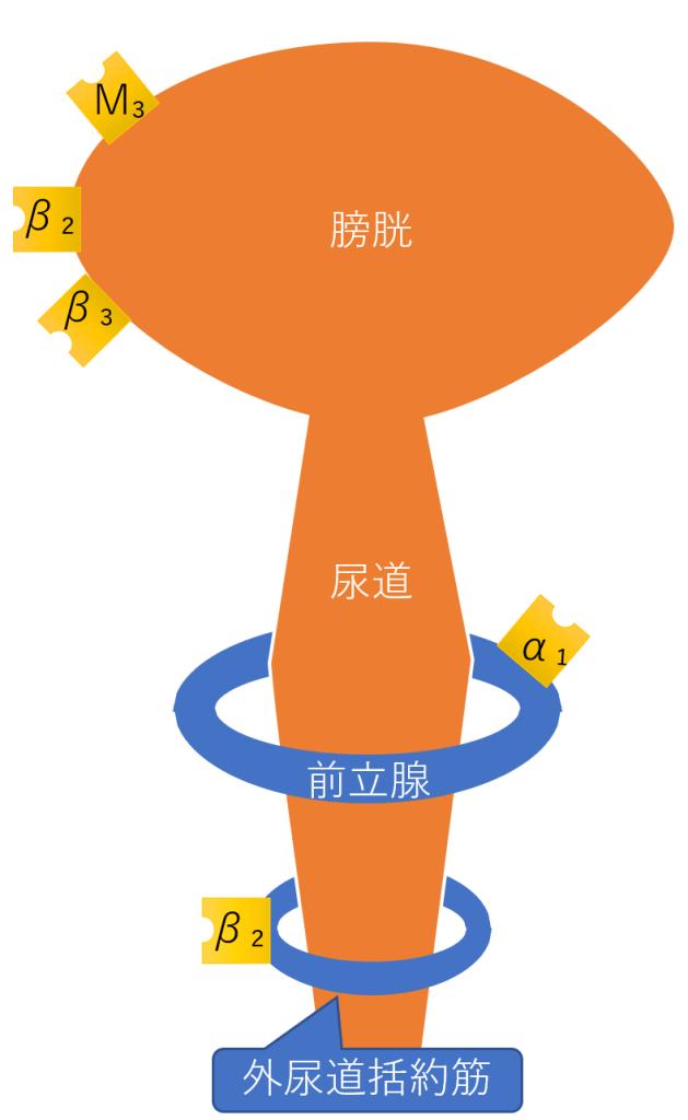 膀胱 受容体 前立腺 外尿道括約筋