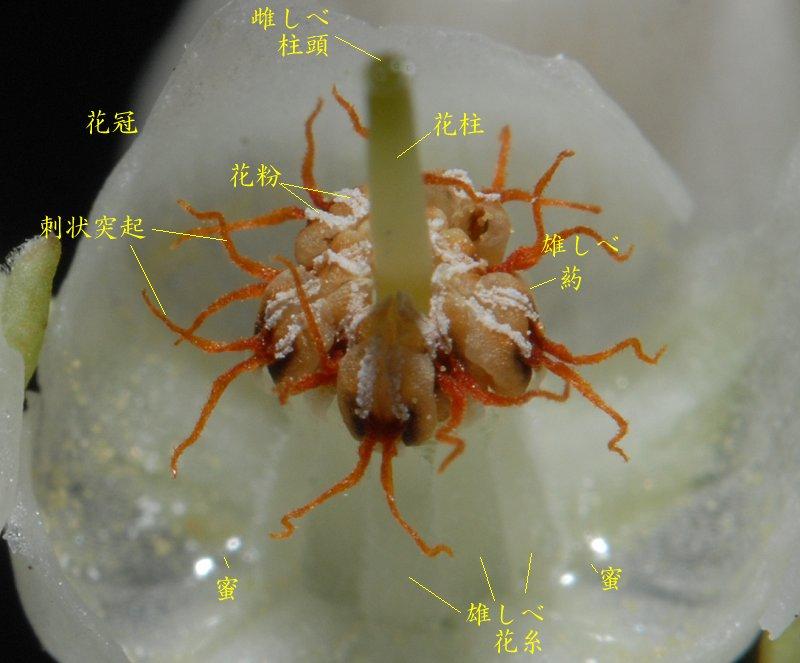 花の構造を見てみるために 花冠(合弁花部位)をやぶって中を覗いてみました