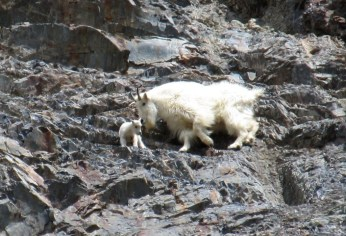 Mountain goat nanny and young, Canada