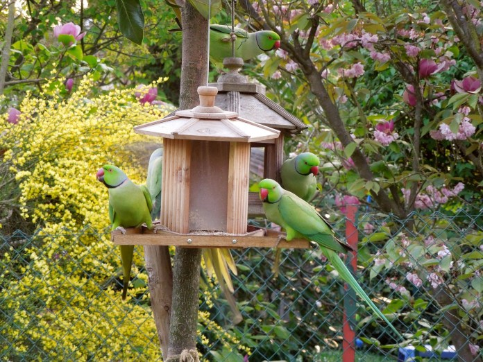 Male rose-ringed parakeets