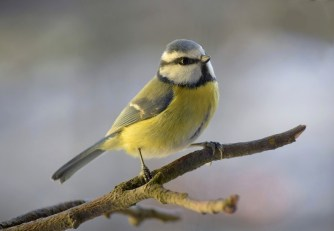 Blue Tit in winter plumage