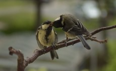 Great tit allofeeding chick