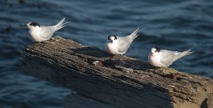 White-fronted terns (Sterna striata), New Zealand