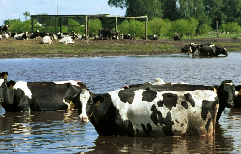 Cows in flooded area