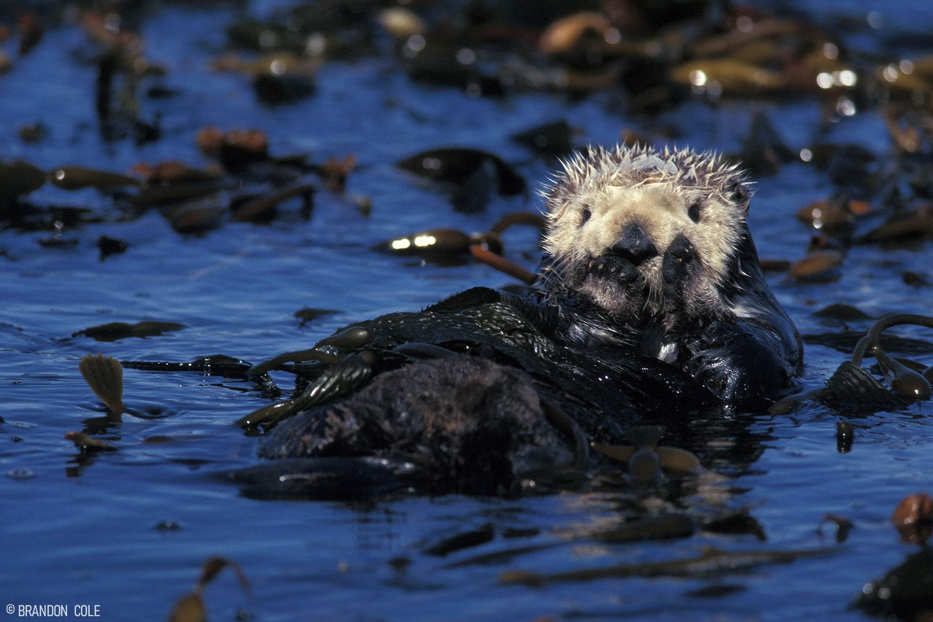 A sea otter floats on its back.