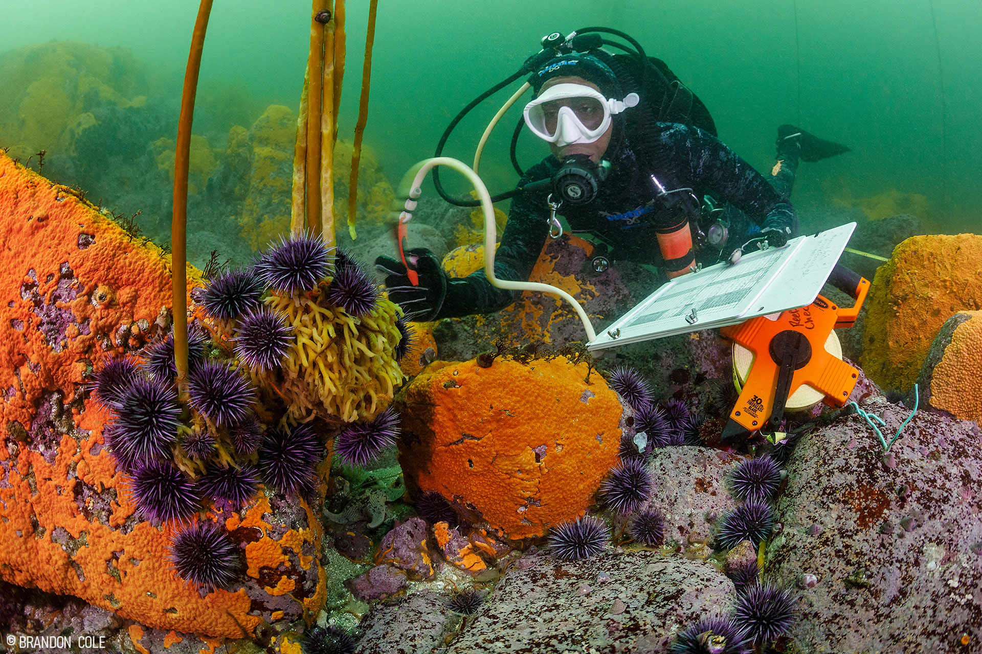 A diver looks at sea urchins and kelp.