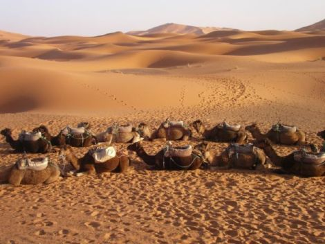 Camels-Parade