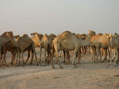 Camel Herd