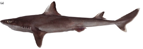 Squalus formosus. From White and Iglesias (2011).
